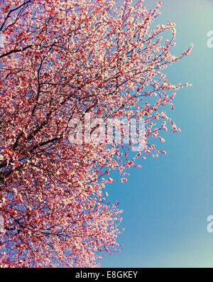 Pink cherry blossoms against blue sky, Vancouver, British Columbia, Canada - Stock Photo