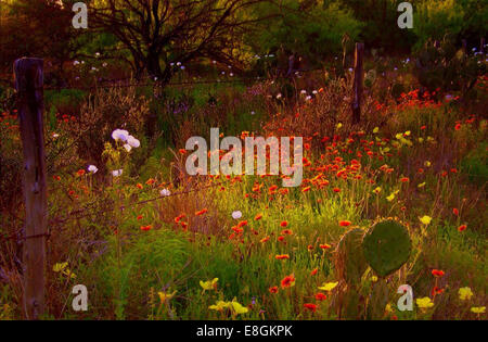Wild flowers and cacti in a meadow in springtime, Dimmit County, Texas, USA