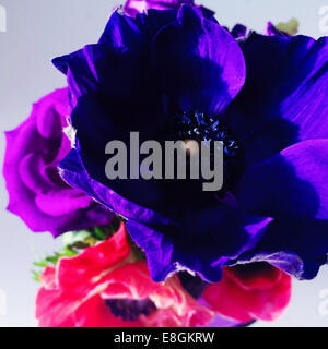 Close-up of purple and pink anemone flowers - Stock Photo