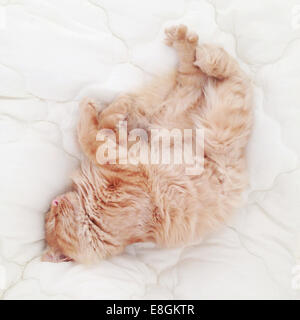 Two ginger cats sleeping on a bed in sunlight - Stock Photo