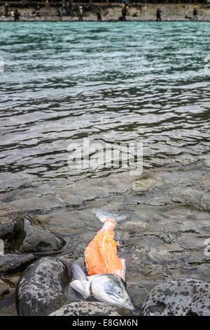 USA, Alaska, Kenai, Russian River, Partially filleted salmon floating - Stock Photo