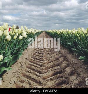 The Netherland, Holland, Tyre track on tulip field - Stock Photo