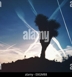 Silhouette of Joshua Tree, Joshua Tree National Park, California, United States - Stock Photo