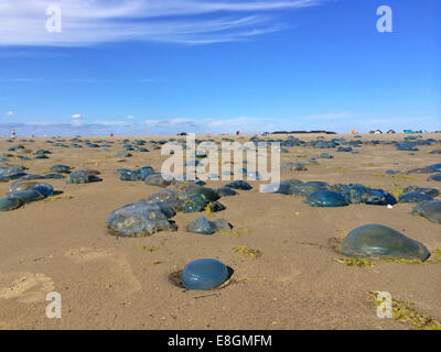 Jellyfish stranded on beach, Fanoe, Denmark - Stock Photo