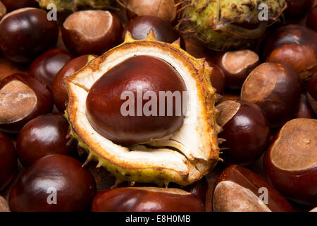 seasons, autumn, horse chestnuts, conkers Aesculus hippocastanum on the ground wih one still in shell - Stock Photo