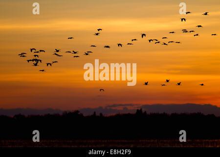 a flock of birds flies over bangweulu wetlands at sunset - Stock Photo