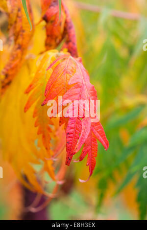 Rhus Typhina. Staghorn sumac or Stag's horn sumach plant in autumn - Stock Photo