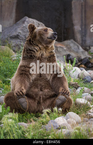 adult male grizzly bear sitting on his rear end  reaching for his rear feet - Stock Photo
