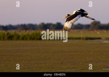 saddle-billed stork flying in Zambia against a dawn sky - Stock Photo