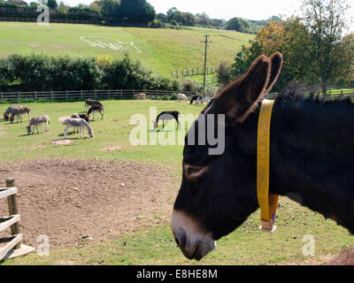 The Sidmouth Donkey Sanctuary, Devon, UK - Stock Photo
