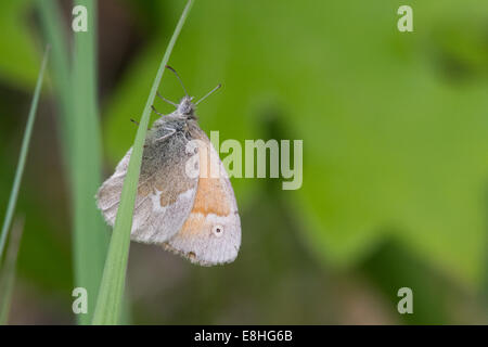 Common Ringlet perched on a blade of grass. - Stock Photo