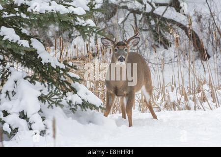 White-tailed Buck (Odocoileus virginianus) in winter.  Acadia National Park, Maine, USA. - Stock Photo