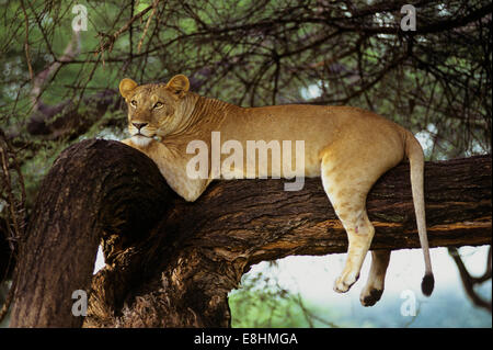 African lion resting in big tree - Stock Photo