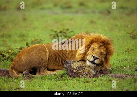 Male lion sleeping on rock - Stock Photo