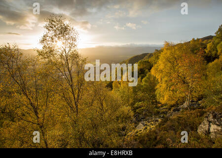 Silver birch woodland (Betula pendula) in early autumn, Craigellachie National Nature Reserve, Aviemore, Scotland - Stock Photo