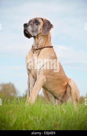 German mastiff, yellow brindle, sitting - Stock Photo