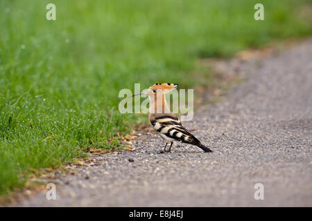 Hoopoe (Upupa epops), foraging on the ground, Saxony, Germany