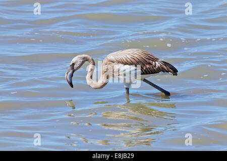 single young greater flamingo walking in shallow water, Camargue, France - Stock Photo