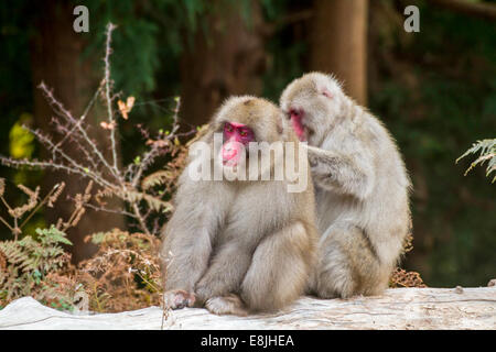 Japanese macaque (Macaca fuscata), or snow monkey. This primate has the northernmost range of any monkey, inhabiting - Stock Photo