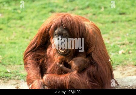Sumatran orangutan (Pongo abelii or Pongo pygmaeus abelii) mother with infant In a zoo - Stock Photo