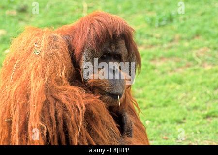 Sumatran orangutan (Pongo abelii or Pongo pygmaeus abelii) In a zoo - Stock Photo