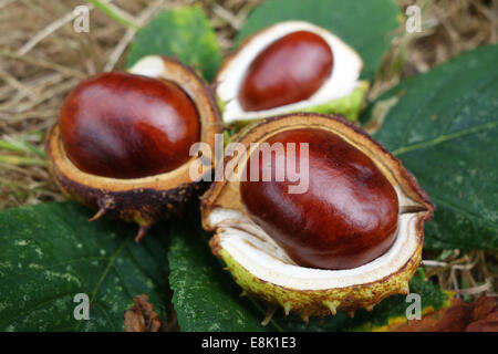 Conkers fallen from Aesculus hippocastanum horse-chestnut tree Credit:  David Bagnall/Alamy Live News - Stock Photo