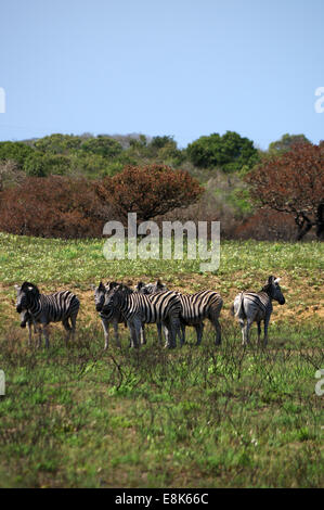 Herd of plains zebras in iSimangaliso Wetland Park, South Africa - Stock Photo