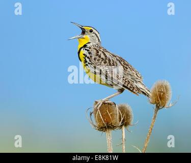 A singing male Western Meadowlark (Sturnella neglecta), Montana - Stock Photo