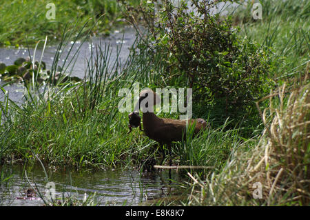 Hammerkop eating a frog - iSimangaliso Wetland Park, South Africa - Stock Photo