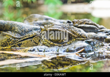 Close-up eye of freshwater crocodiles it floating on the water surface. - Stock Photo