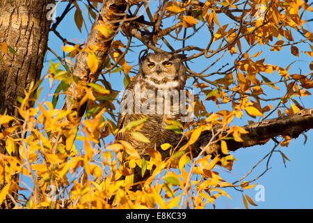 Great Horned Owl (Bubo virginianus) sleeping in cottonwood. - Stock Photo