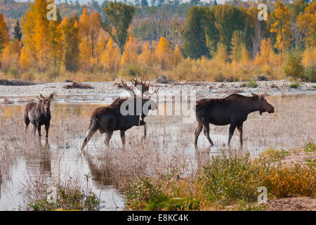 Moose (Alces alces)mature bull and cow in breeding activity. - Stock Photo
