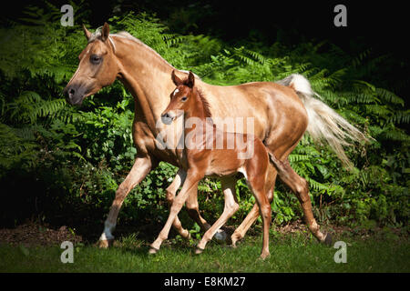Mare with colt, 3 weeks, German small horse X P.R.E. and German small horse trotting on meadow - Stock Photo