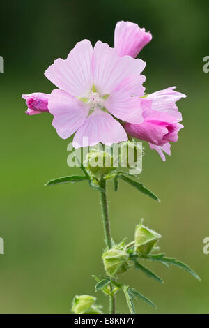 Musk Mallow (Malva moschata), Burgenland, Austria - Stock Photo