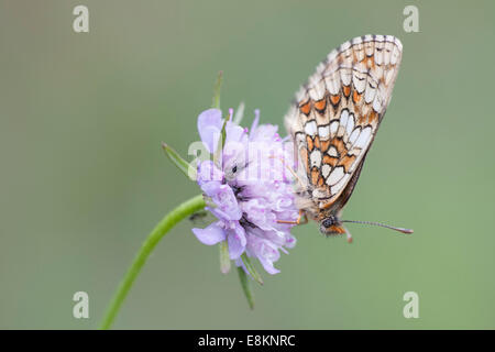 Heath Fritillary (Melitaea athalia), butterfly perched on a Field Scabiosa (Knautia arvensis), North Hesse, Hesse, - Stock Photo