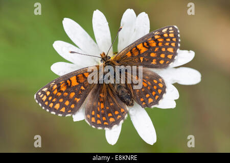Heath Fritillary (Melitaea athalia), butterfly perched on an Ox-eye Daisy (Leucanthemum vulgare), North Hesse, Hesse, - Stock Photo