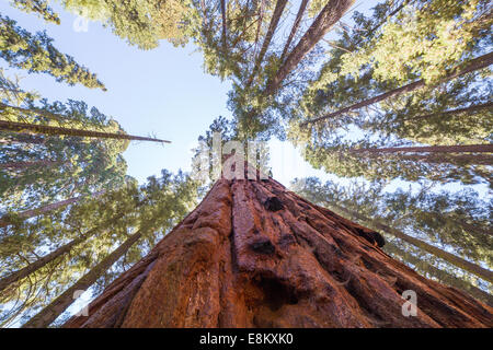 Giant sequoia trees in the Sequoia National Park, California, USA - Stock Photo