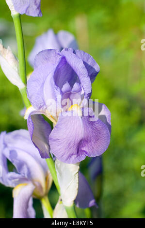 Lilac blue Iris flower. Greek word for a rainbow - Stock Photo