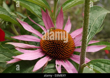 Purple Coneflower with Nectar harvesting Bee - Sonnenhut (Echinacea) mit Nektar sammelnder Biene - Stock Photo