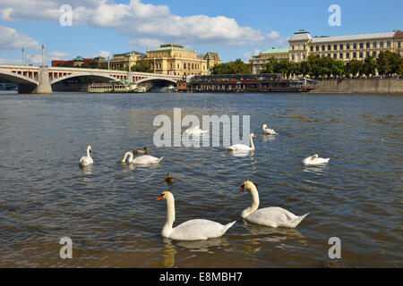 Swans on Vltava River, Prague - Stock Photo