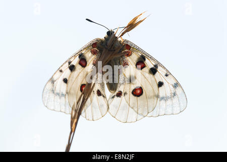 Roter Apollo / red apollo (Parnassius apollo) - Stock Photo