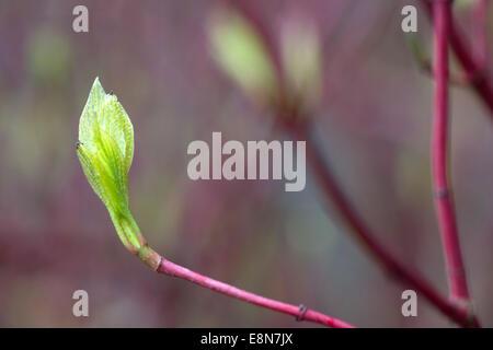Red twig Dogwood bush growing in Brighton. - Stock Photo