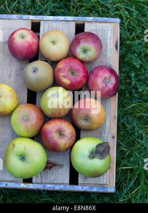 English apples on a wooden crate in autumn - Stock Photo