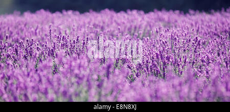Purple lavender flowers in the field. Traditional medicine and cosmetic products - Stock Photo
