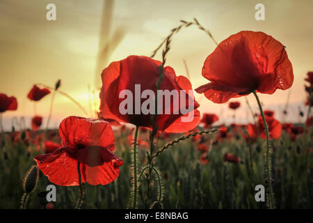 Close up of three poppies, looking over a poppy field in a summer meadow as the sun sets in the distance - Stock Photo