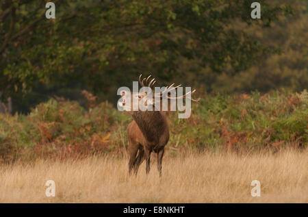 Richmond Park, SW London UK. 12th October 2014. Red Deer stag bellows during the annual rut. Credit:  Malcolm Park - Stock Photo