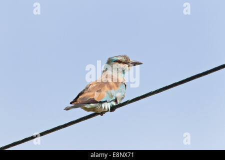 European roller (Coracias garrulus) single bird perched on telegraph wire, against a blue sky. - Stock Photo