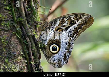 Owl butterfly (Caligo eurilochus), Brush-footed butterfly family (Nymphalidae), Tambopata National Reserve, Madre - Stock Photo