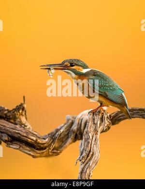 Common Kingfisher (Alcedo atthis), AKA Eurasian Kingfisher or River Kingfisher. This colourful bird is found throughout - Stock Photo