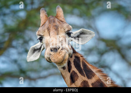 Goofy giraffe looking down and into camera - Stock Photo